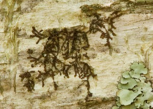 Frullania Liverwort and Greenshield Lichen on a Yellow Birch at Spence Field